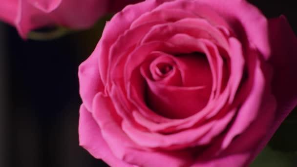 Velká růžová růže bud v makru