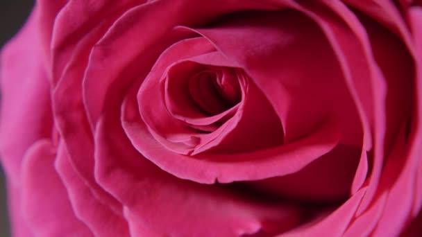 nagy rózsaszín rózsa Bud makró