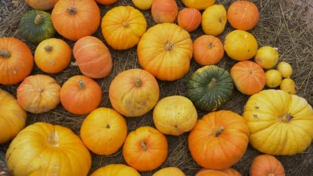 mnoho oranžových dýní různých velikostí leží na seně