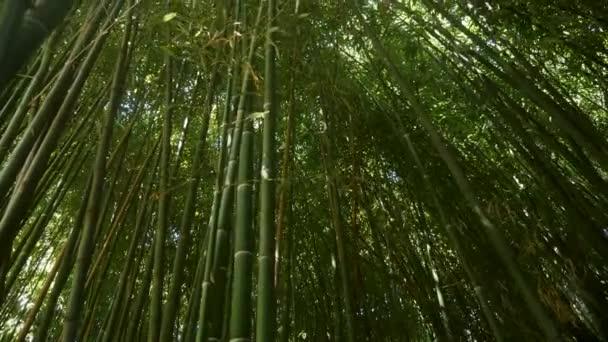 tall growing green bamboo grows