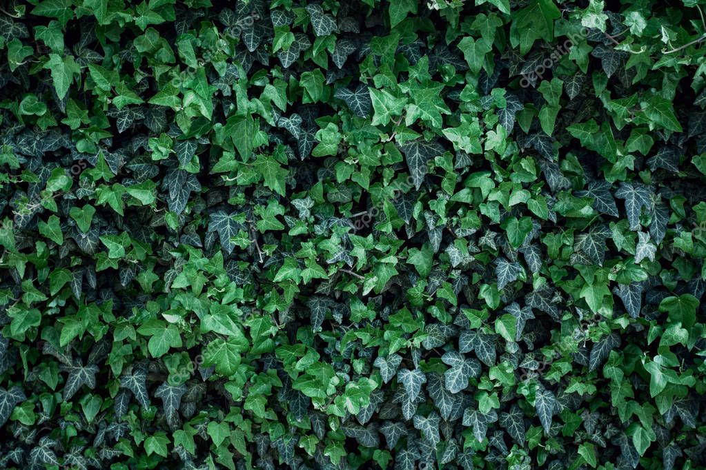 Green ivy leaves on wall