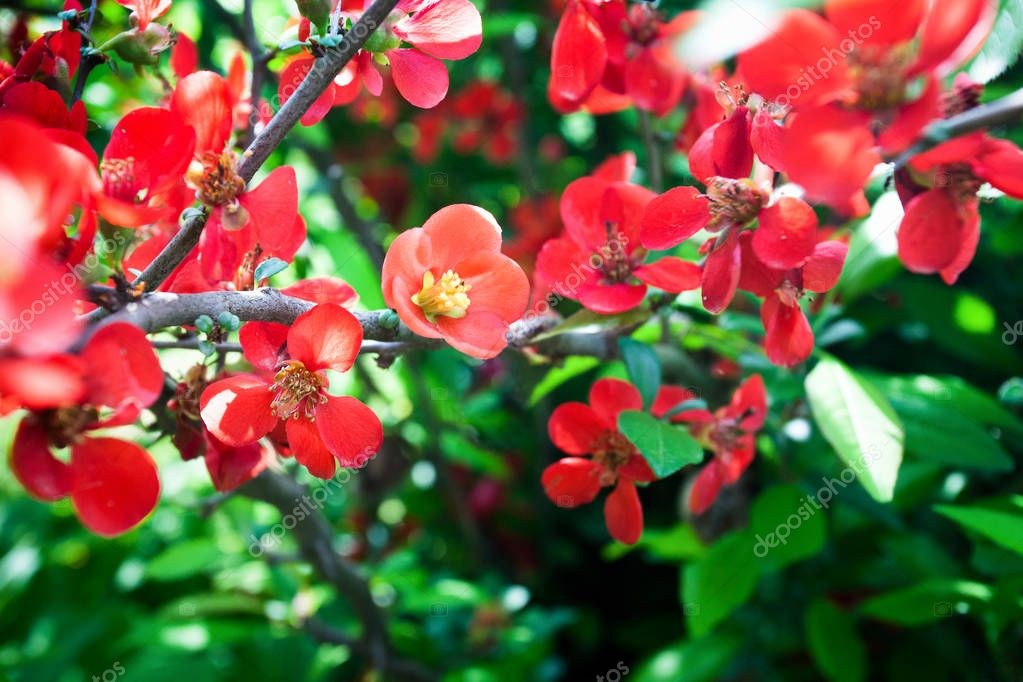 Bright flowering Japanese quince or Chaenomeles japonica. Branch covered with lot of red flowers on blurred green background with leaves bokeh. Bright nature concept for designs, spring greeting cards, invitations, blog posts, social networks and dec
