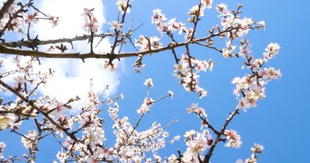 mandlové strom a květina