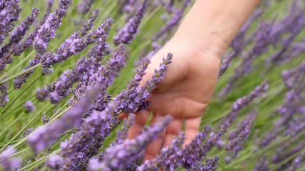 Hand of human touching lavenders flowers