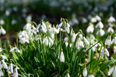 beautiful snowdrops nature background