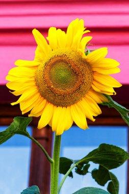 Sunflowers on pink window backgroud