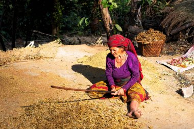 ANNAPURNA CIRCUIT TRAIL, NEPAL - DEC 5, 2018: Woman of a hill tribe hits rice and grains during harvesting season in Himalaya mountains, Nepal