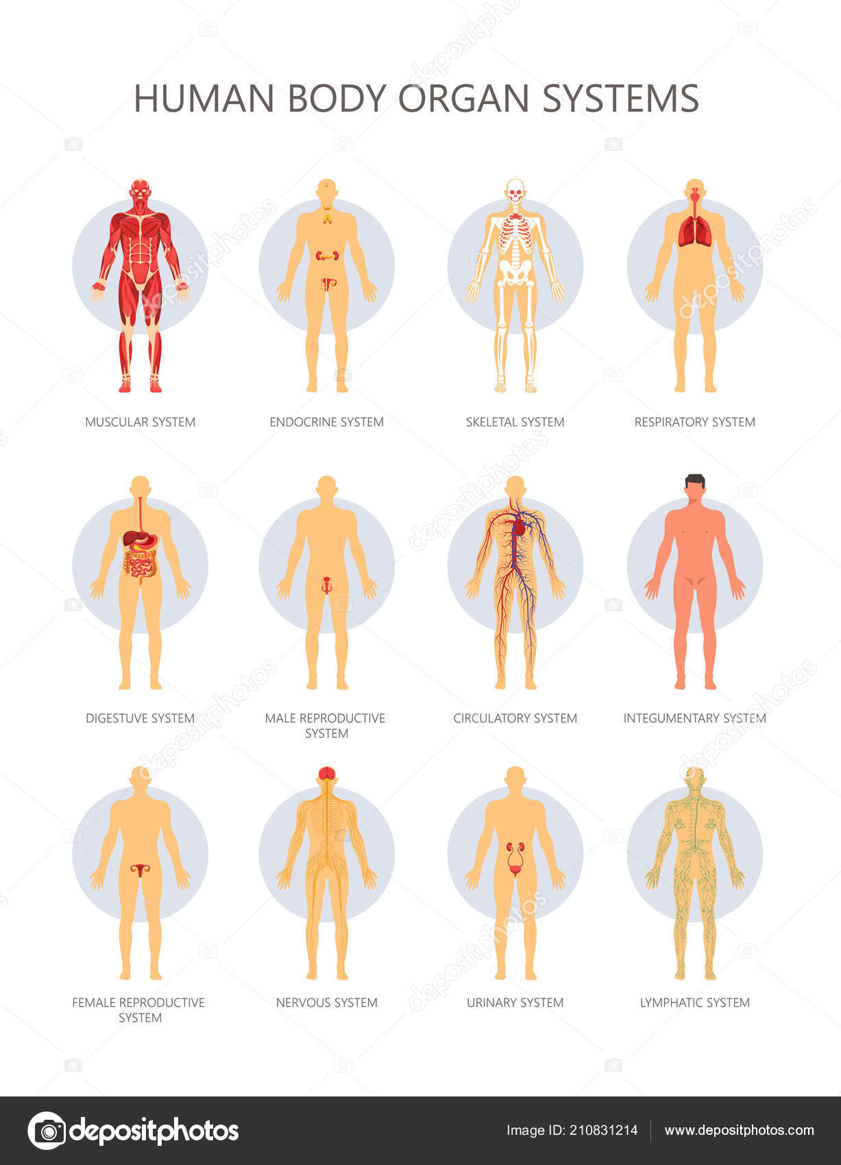 Human Body Biological Organ Systems Medical Infographic Vector
