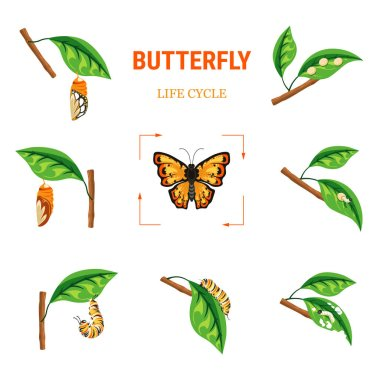 Larva transformation into butterfly insect life cycle vector biology and nature evolution caterpillar stage and cocoon eggs and larva flying bug with bright wings branch with leaf monarch species.