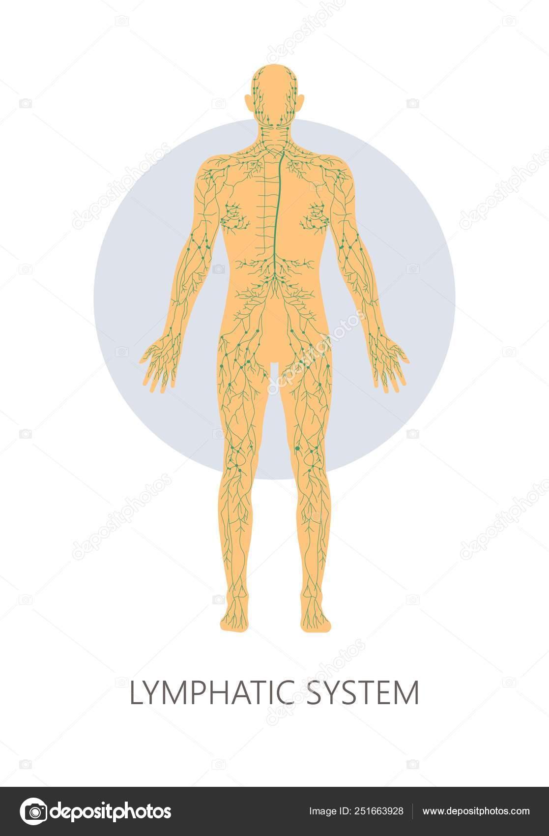 Sistema Linfático Isolado Estrutura Anatômica Medicina E