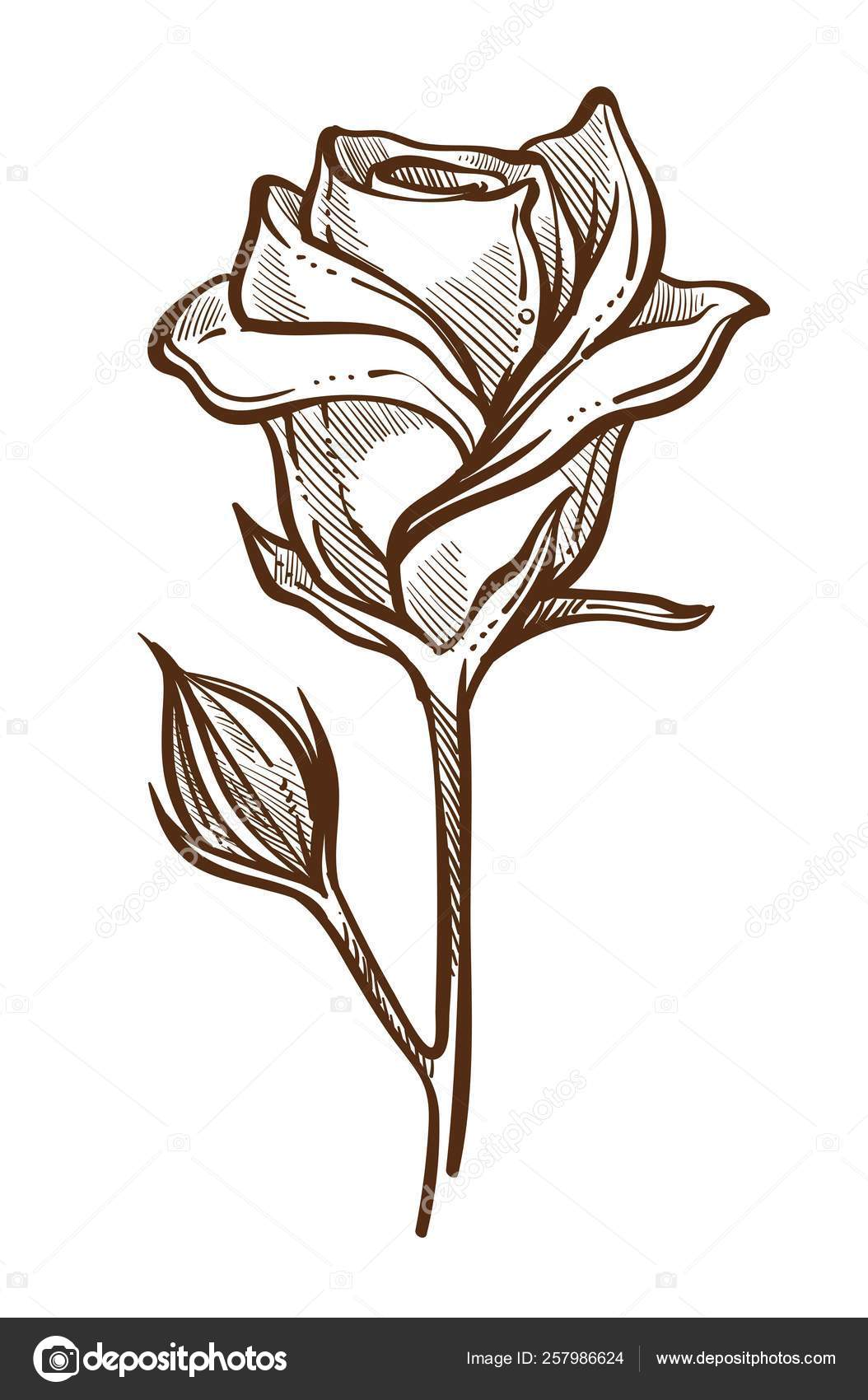 Closed Rose Sketch Rose Plant Open Closed Buds Stem Isolated Sketch Vector Flower Stock Vector C Sonulkaster 257986624