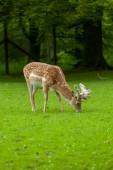 Mladý jelen se pase na parku