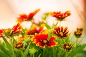multicolor summertime gaillardia garden flowers at sunlight