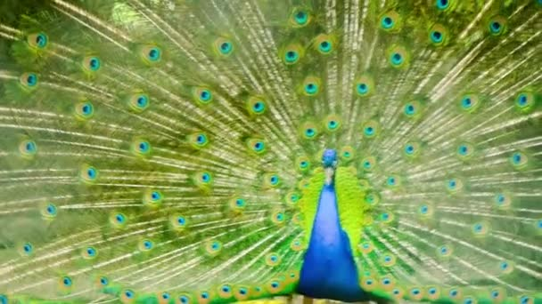 beautiful multicolor tail of peacock moving in zoo