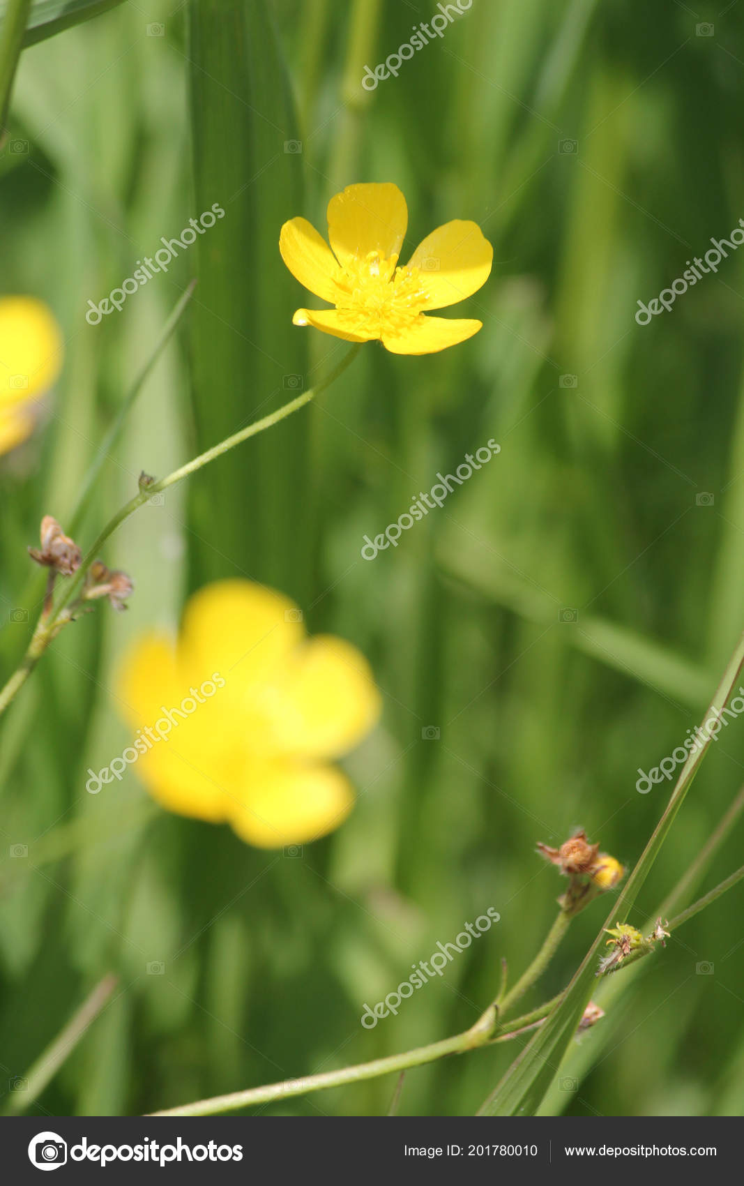 Waxy Bright Yellow Flower Buttercup Known Flower Weed Stock Photo