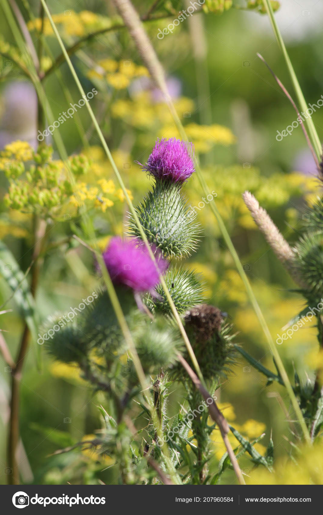 Bull thistle cirsium vulgare prickly weed pretty purple flower top bull thistle cirsium vulgare prickly weed pretty purple flower top stock photo mightylinksfo