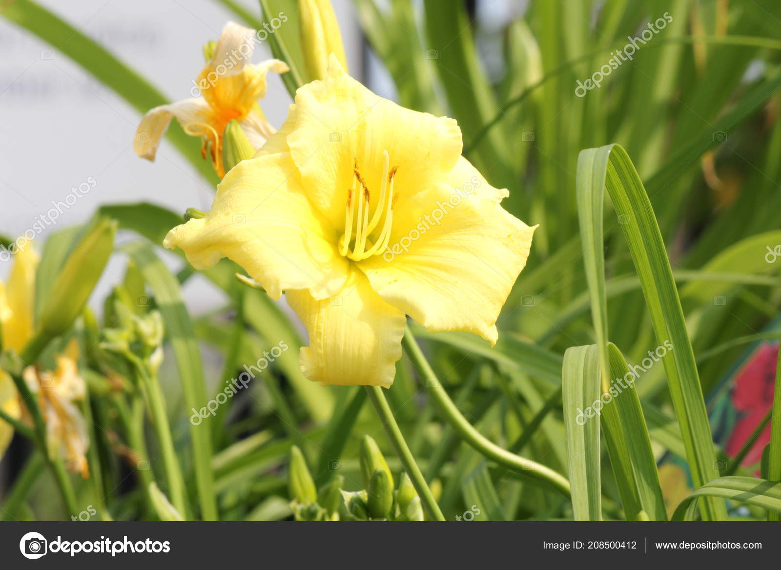 Stella Supreme Lily Hemerocallis Popular Perennial Offers Fragrant