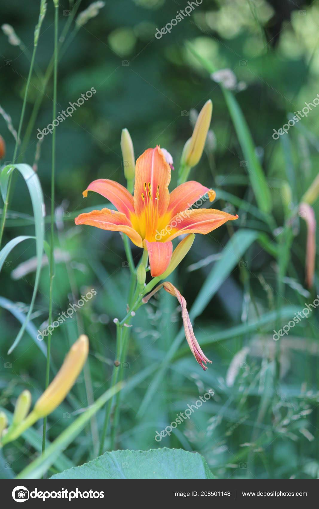 Orange Day Lily Hemerocallis Day Lilies Rugged Adaptable Vigorous