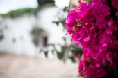 Fotografie Big bougainvillea in a typical andalusian courtyard in Cordoba, Andalusia Spain with a lot of plants