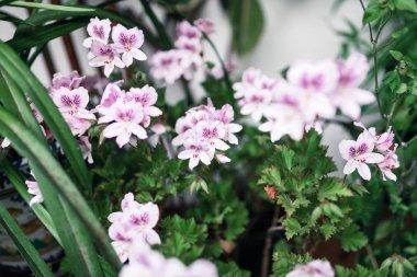 French geranium flowers in a garden in Crdoba