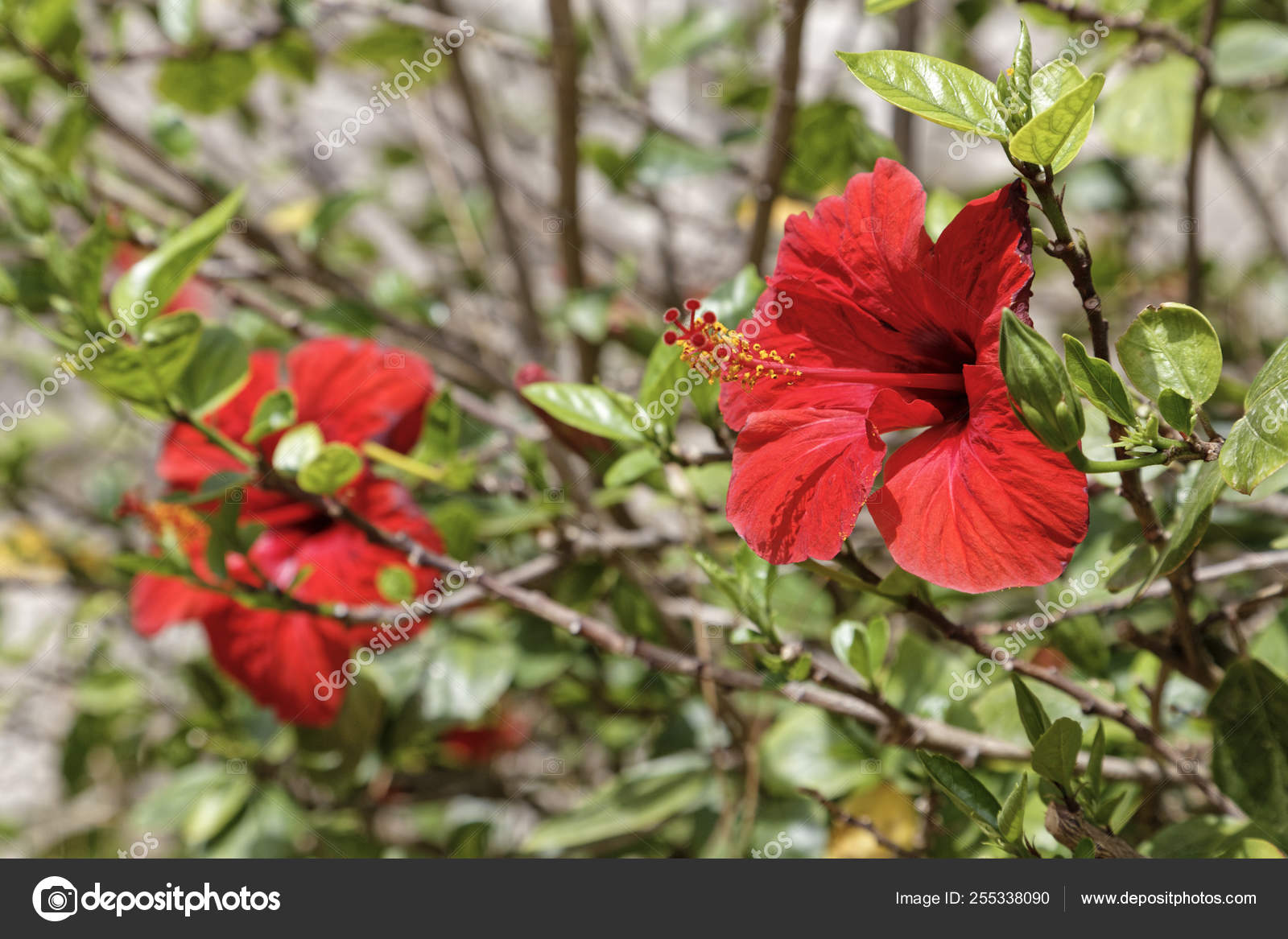 Italy Sicily Hibiscus Flowers Garden Stock Photo C Agiampiccolo 255338090
