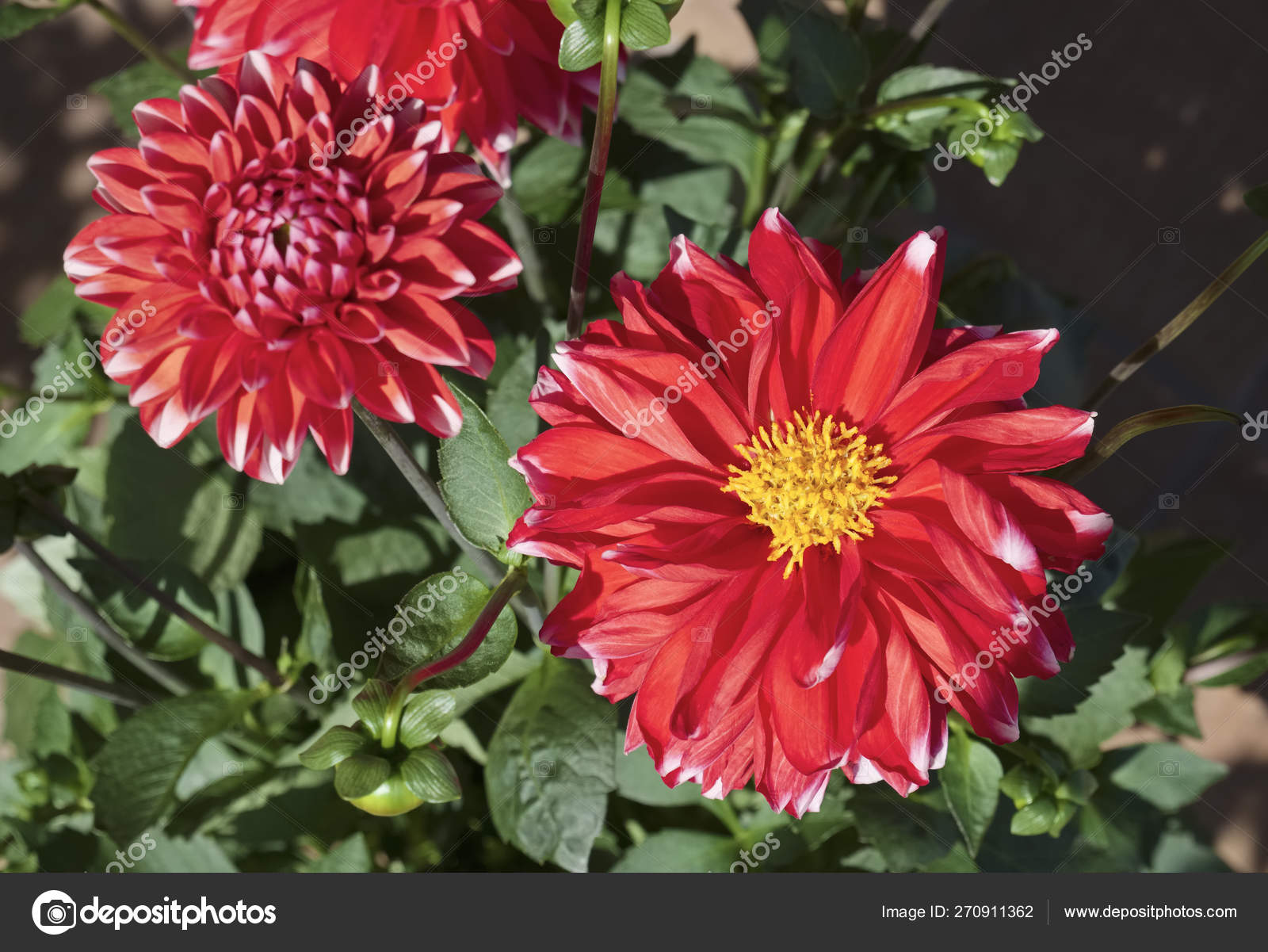 Flores Dalia Vermelhas Jardim Stock Photo C Agiampiccolo 270911362