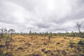 Malých borovic v krajině prérie v oblačné počasí s zlatá tráva