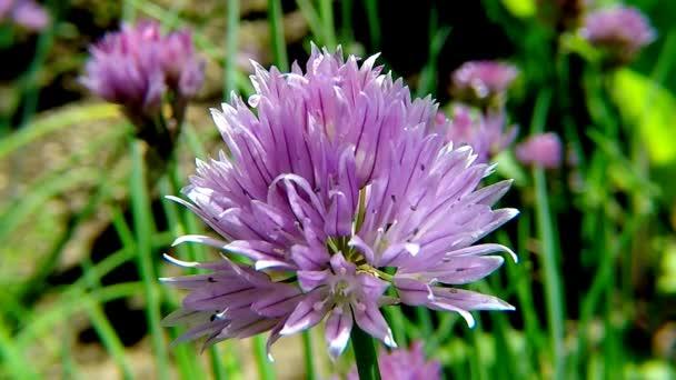 Kvetoucí pažitka, detailní květ bylina kuchyně