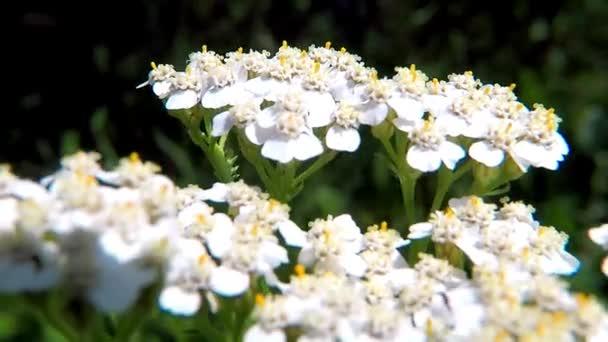 Cickafark gyógynövény virág