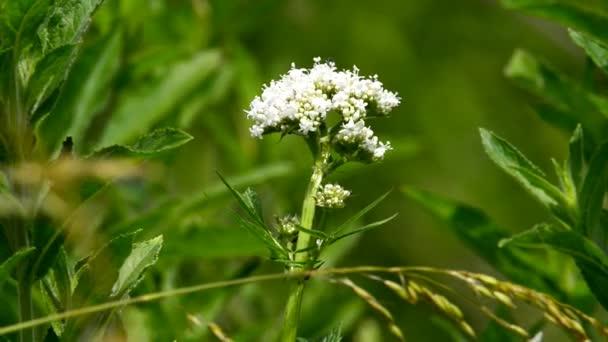 Valerian, gyógynövény, virág