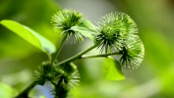 Nagyobb Bojtorján, gyógynövény, egy gyógynövény-kert, virág