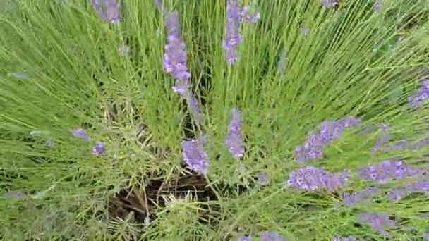 Levendula, gyógynövény és fűszer-virág