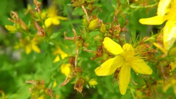 St. Johns wort, gyógynövény, virág
