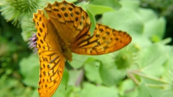 silver-washed fritillary butterfly on a thistle flower