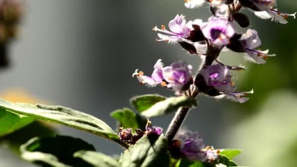 Afrikai kékbazsalikom, fűszer és gyógynövény virággal