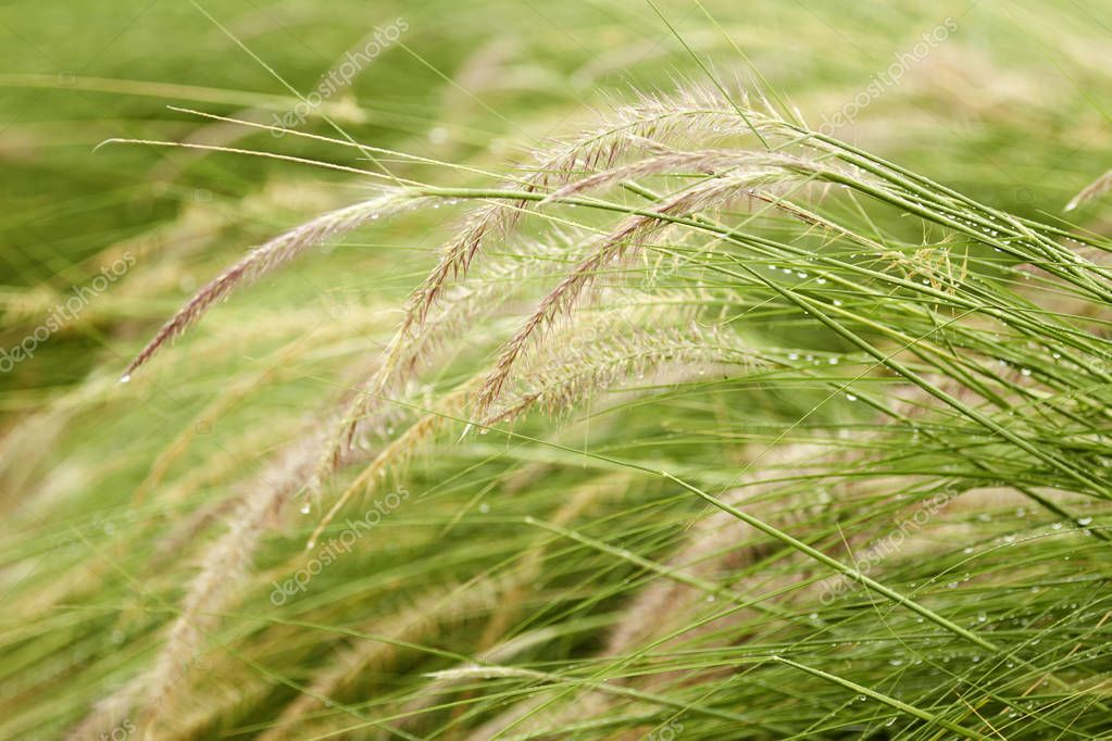 Flowering grass with blurry background, mission grass, feather pennisetu