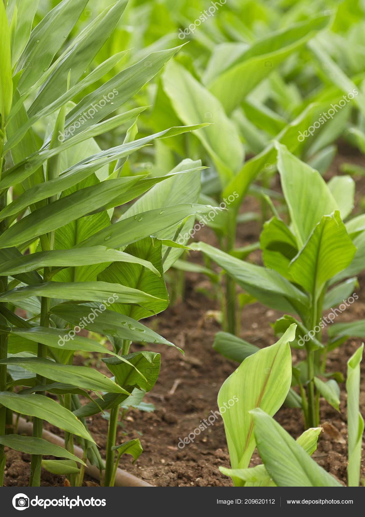 Ingwer Mit Galgant Baum Blätter Garten Hintergrund Stockfoto