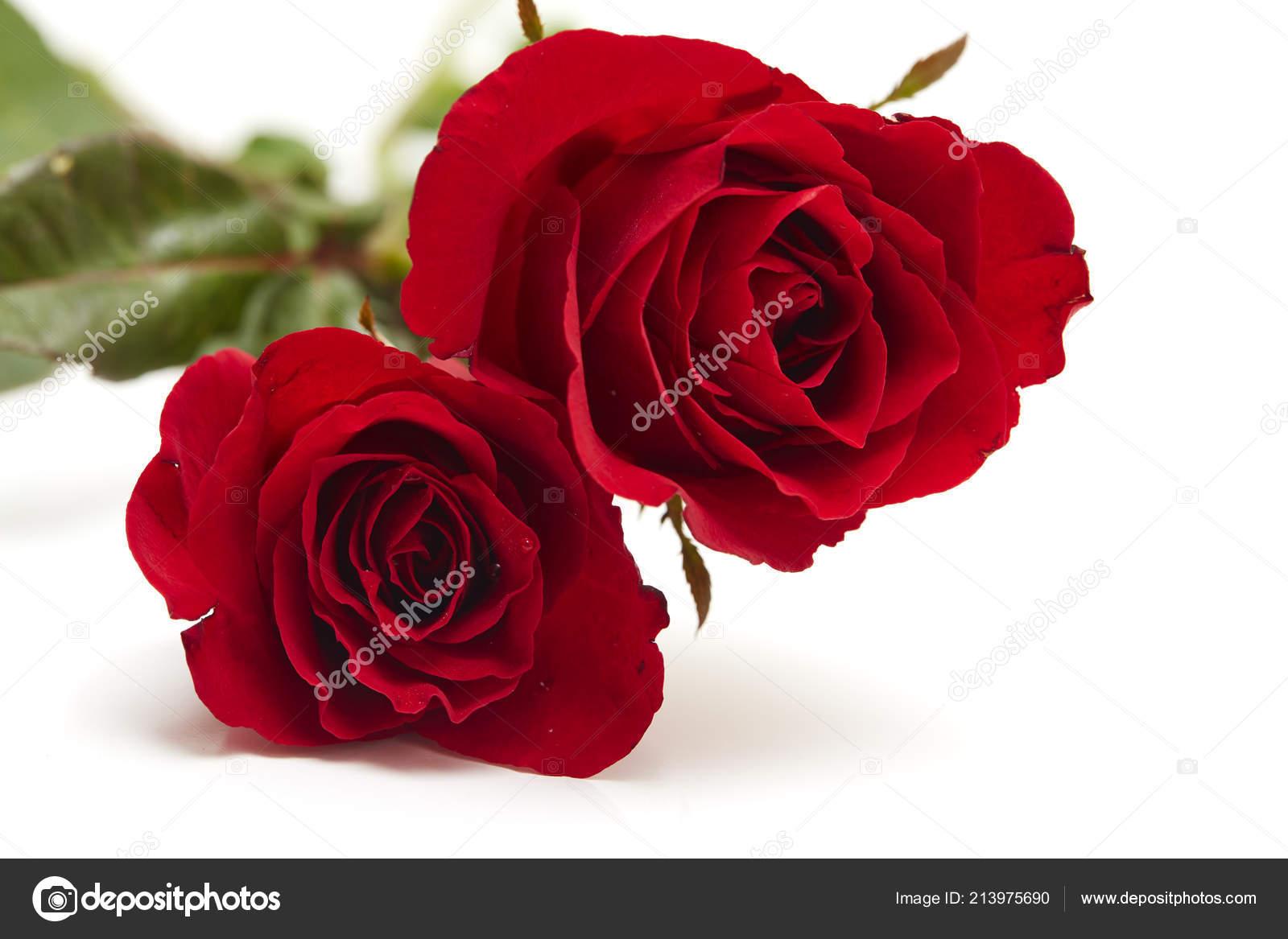 Due Rosa Rossa Sfondo Bianco Concetto Amore Matrimonio Spazio Vuoto