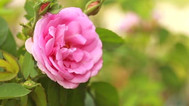 Pink roses bloom in the garden
