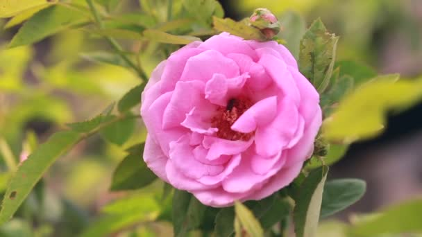 Pink roses bloom in the garden