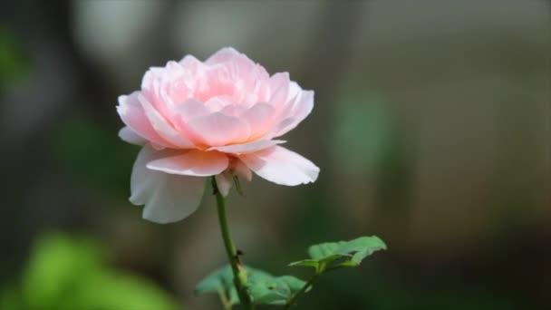 blühen rosa Rosen auf einem grünen Strauch im Garten Sommermorgen