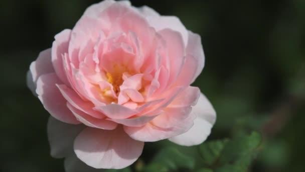 Kvetoucí růžové růže na zeleném keříku na zahradě letního jitra