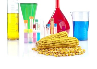 Genetically modified organism - maize and laboratory glassware on white background