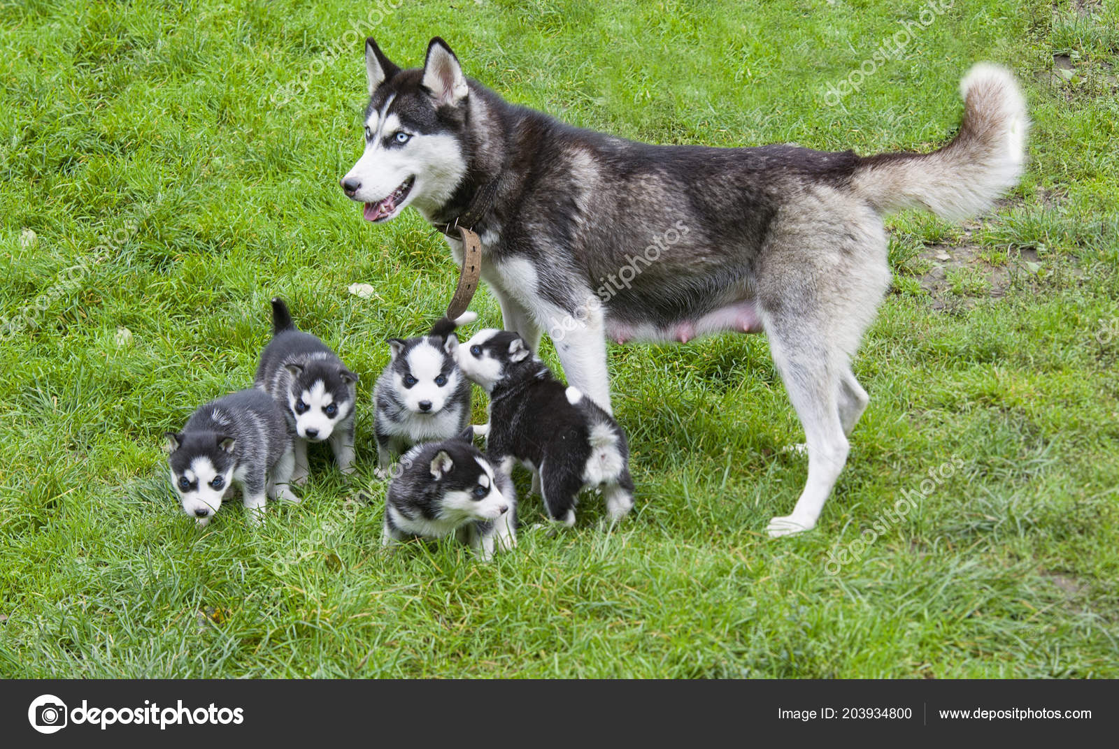 Siberian Husky Puppies Walk Mother Stock Photo C Petrop 203934800