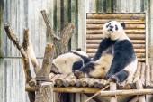 Fotografie Zwei riesige Pandas ruhen nach dem Frühstück. Süße lustige Sitzung-Panda-Bären. Erstaunliche Wildtiere