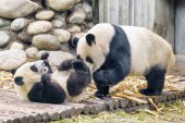 Cute giant panda and cub having fun. Funny panda bears playing together. Amazing wild animals.