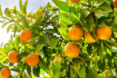 Mature oranges hanging on tree before harvesting. Bright ripe fruits in sunlight at garden. Organic farming. Healthy eco food. stock vector