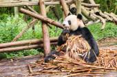 Panda seděla na hromadě bambusových výhonků a vychutnávala si snídani