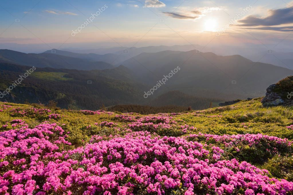 Green valley high on the mountains in summer day is spangled with many nice pink rhododendrons. The sunset with rays illuminates the horizon.