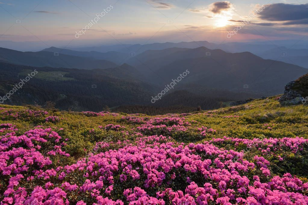 From the lawn covered with marvelous pink rhododendrons the picturesque view is opened to high mountains, valley, pink sky in sunny day. The sunset illuminates the horizon.